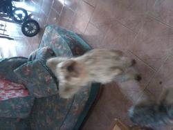 Grenadine, chien Yorkshire Terrier