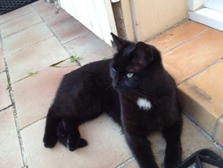 Grenadine, chat Européen