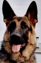 Grenouille , chien Berger allemand