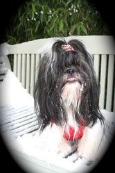 Gretha De La Milady, chien Shih Tzu