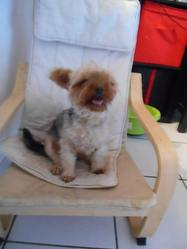 Gretta, chien Yorkshire Terrier