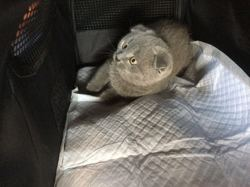 Grey, chat Scottish Fold