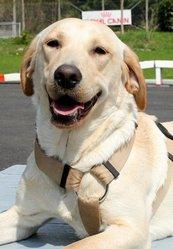 Grey'S, chien Labrador Retriever