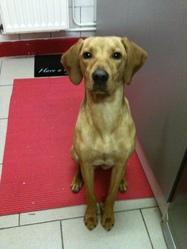 Grey, chien Braque allemand à poil court