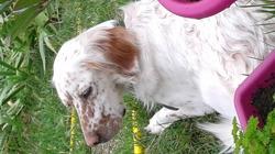 Greta, chien Setter anglais