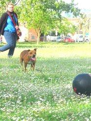 Greys, chien Staffordshire Bull Terrier
