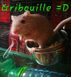 Gribouille, rongeur Gerbille