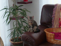 Gribouille Au Pardis, chat Européen