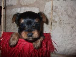 Gribouille, chien Yorkshire Terrier