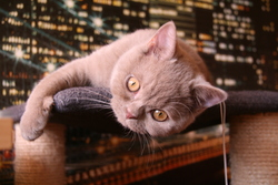 Gribouille, chat British Shorthair