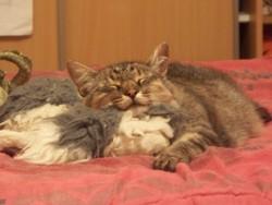 Gribouille, chat Européen