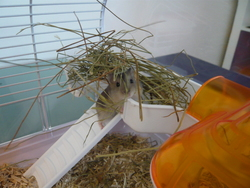 Gribouille, rongeur Hamster