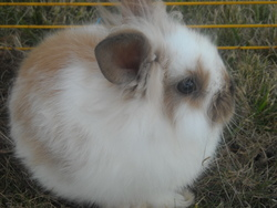 Gribouille, rongeur Lapin