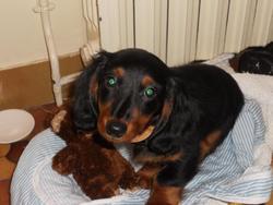 Gribouille, chien Teckel