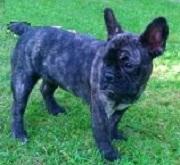 Gribouille, chien Bouledogue français
