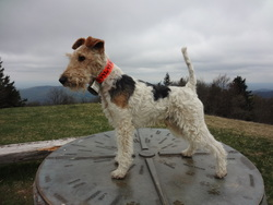 Gribouille, chien Fox-Terrier