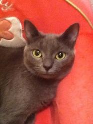 Gribouille, chat Korat