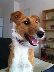 Gribouille, chien Fox-Terrier