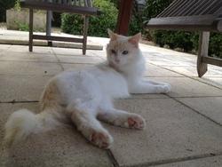Gribouille, chat Gouttière