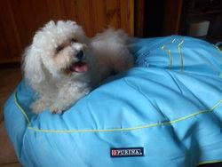 Gribouille, chien Bichon à poil frisé