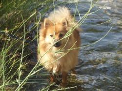 Gribouille, chien Spitz allemand