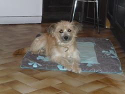 Gribouille, chien Berger des Pyrénées