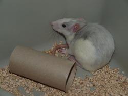 Gribouille Rip, rongeur Rat