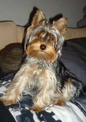 Gribouille, chien Yorkshire Terrier