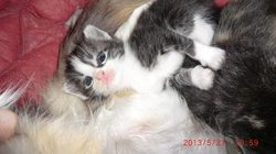 Gribouille, chat Angora turc