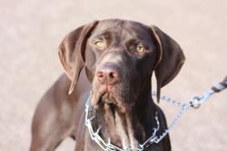 Gribouille, chien Braque allemand à poil court