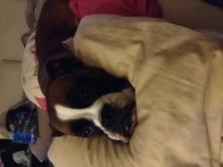 Gribouille, chien Boxer