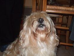 Gribouille, chien Lhassa Apso