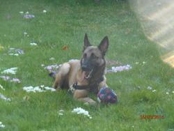 Gribouille, chien Berger belge