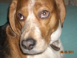 Gribouille, chien Beagle