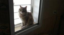 Gribouille, chat Sibérien