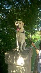 Gribouille, chien Labrador Retriever