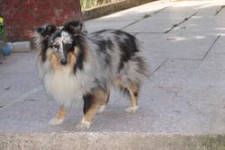 Gribouille, chien Berger des Shetland