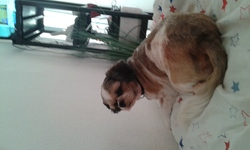 Gribouille, chien Shih Tzu