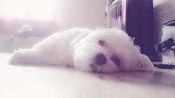 Gribouille, chien Bichon maltais