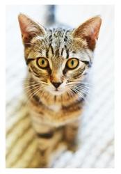 Gribouille, Perdu, chat Gouttière