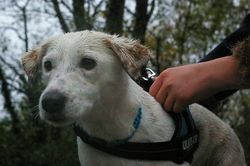 Gribouille, chien Jack Russell Terrier
