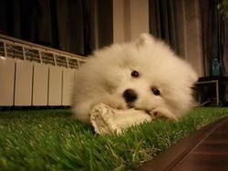 Snoopy, chien Samoyède