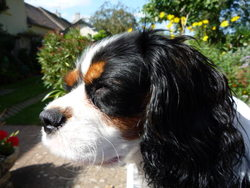 Gribouille, chien Cavalier King Charles Spaniel