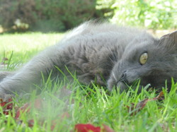 Gribouille, chat Chartreux