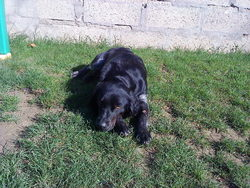 Ely, chien Épagneul breton
