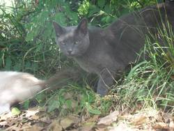 Gribouillie , chat