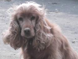 Gribouille, chien Cocker anglais