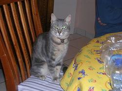 Griboulle, chat Gouttière