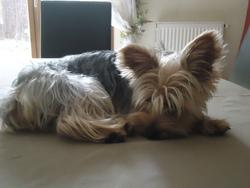 Griboulle, chien Yorkshire Terrier