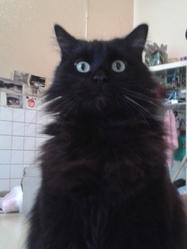 Griboulle, chat Européen
